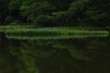 カキツバタ咲く池