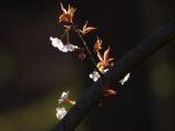 01山桜.jpg