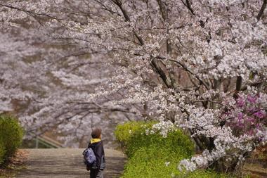 01桜を愛でる.JPG