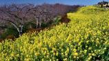 満開の菜の花です P1142187.jpg