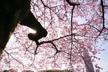 寒桜を見上げて P1142994.jpg
