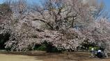 2020新宿御苑の桜 P1144655.jpg