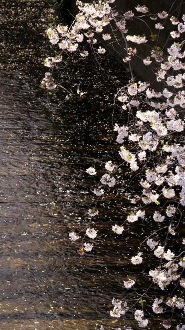 川面の花びら P1155876.jpg