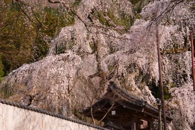 秩父清雲寺の枝垂れ桜