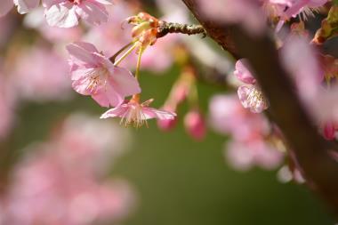 河津桜@薬師池公園 3/5
