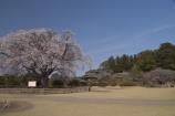好文亭と桜