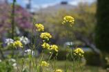 名残の菜の花